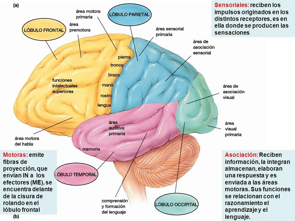 Sensoriales: reciben los impulsos originados en los distintos receptores, es en ella donde se producen las sensaciones