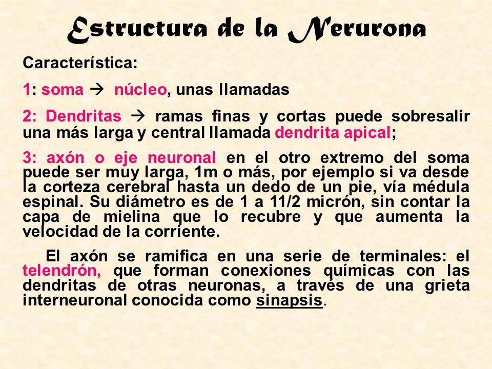 Estructura de la Nerurona