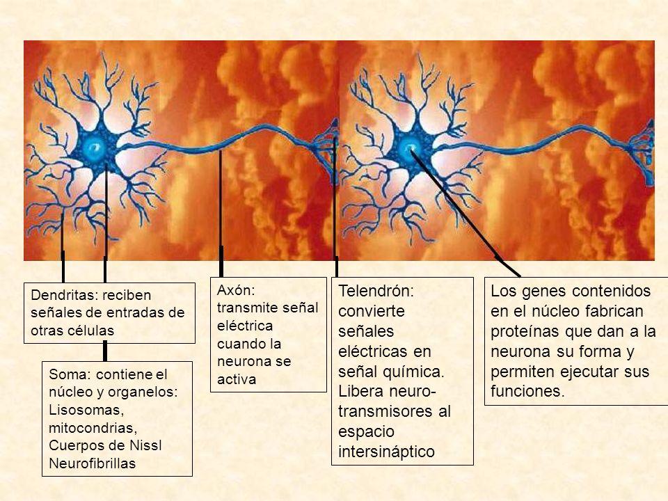 Dendritas: reciben señales de entradas de otras células