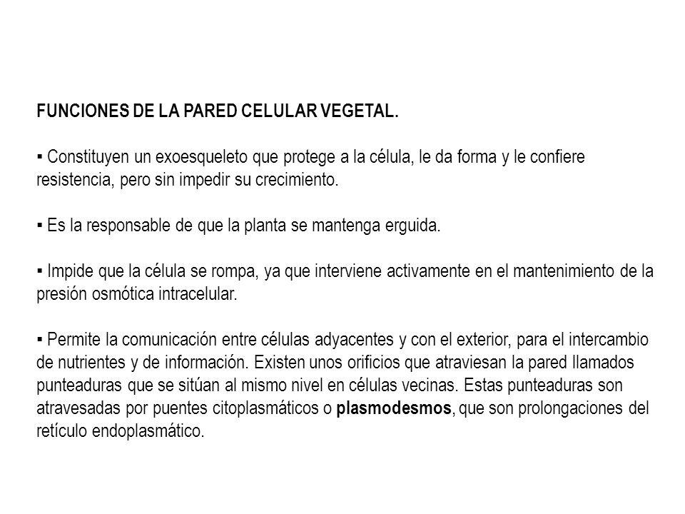 FUNCIONES DE LA PARED CELULAR VEGETAL.