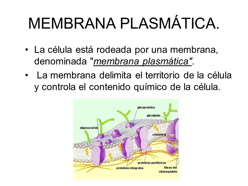 MEMBRANA PLASMÁTICA. La célula está rodeada por una membrana, denominada membrana plasmática .