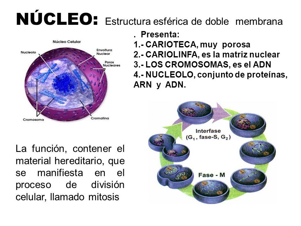 NÚCLEO: Estructura esférica de doble membrana