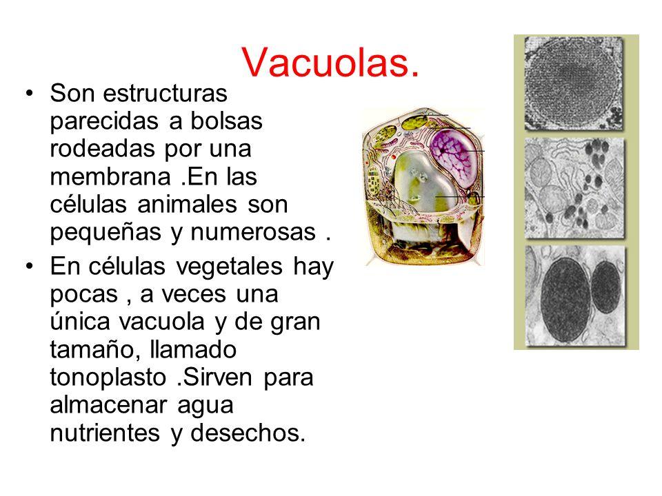 Vacuolas. Son estructuras parecidas a bolsas rodeadas por una membrana .En las células animales son pequeñas y numerosas .