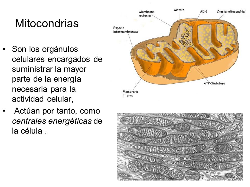 Mitocondrias Son los orgánulos celulares encargados de suministrar la mayor parte de la energía necesaria para la actividad celular,