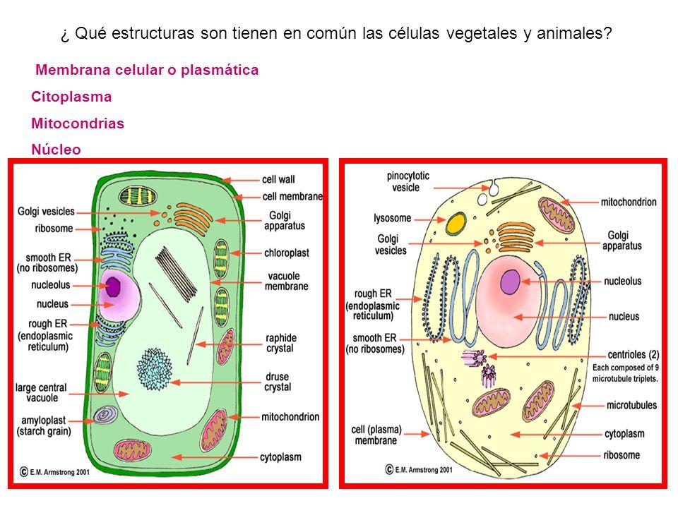 Membrana celular o plasmática