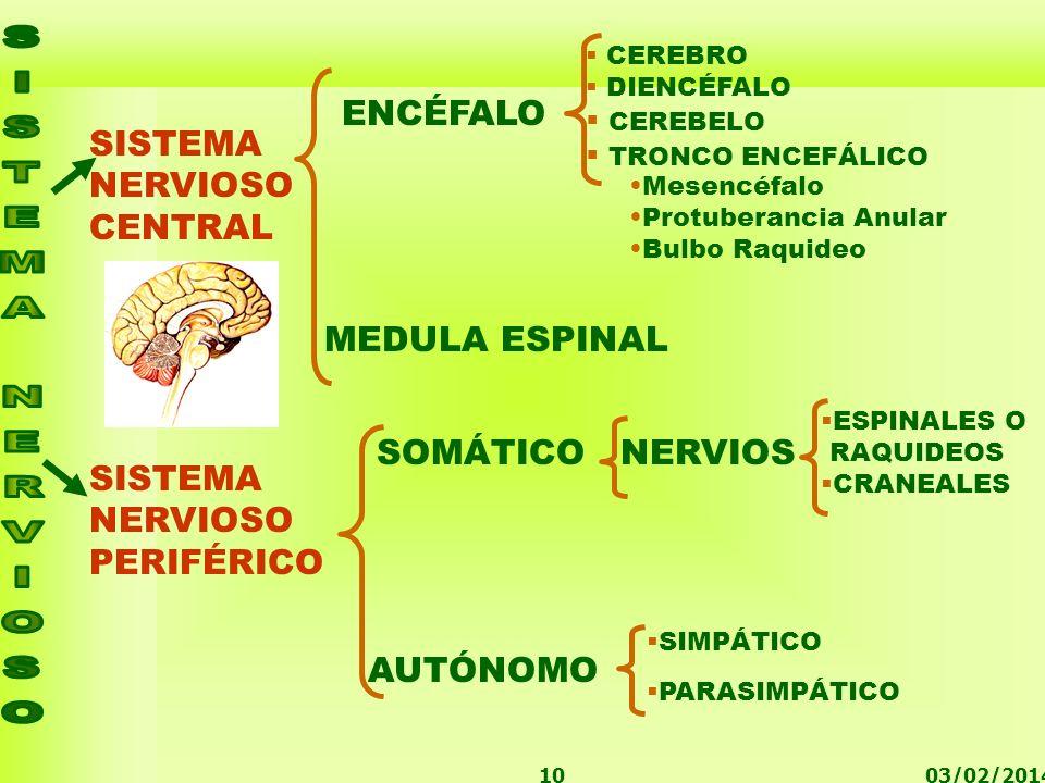 ENCÉFALO SISTEMA NERVIOSO CENTRAL MEDULA ESPINAL SOMÁTICO NERVIOS