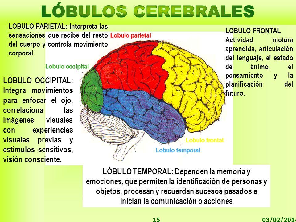 LÓBULOS CEREBRALES LOBULO PARIETAL: Interpreta las sensaciones que recibe del resto del cuerpo y controla movimiento corporal.