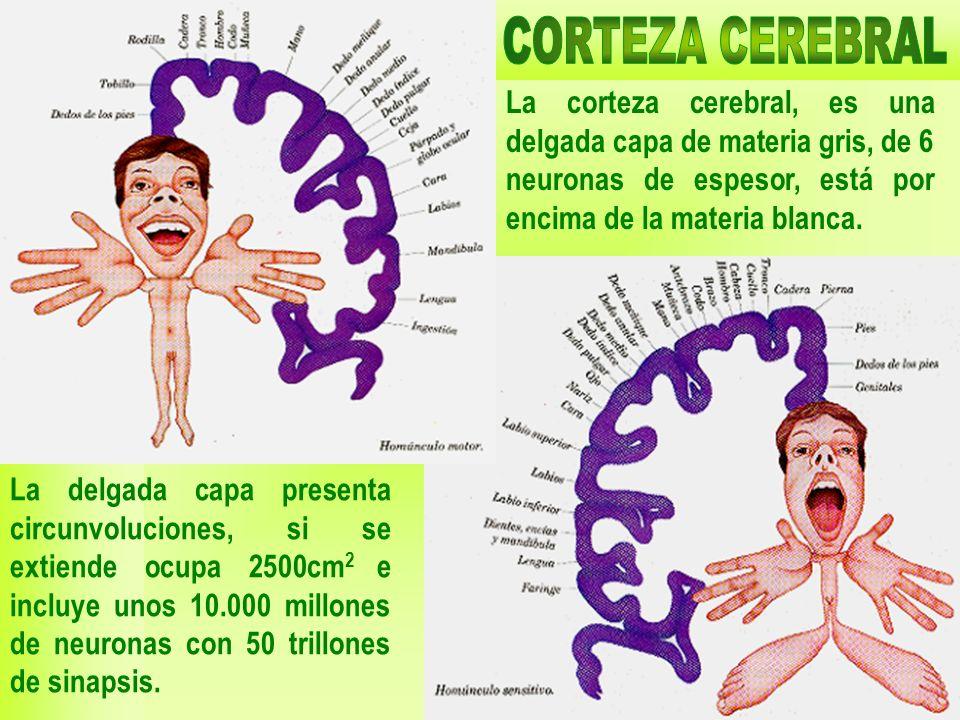 CORTEZA CEREBRAL La corteza cerebral, es una delgada capa de materia gris, de 6 neuronas de espesor, está por encima de la materia blanca.