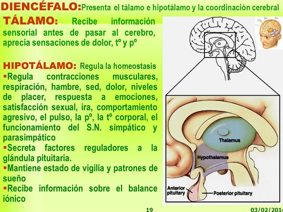 DIENCÉFALO:Presenta el tálamo e hipotálamo y la coordinación cerebral