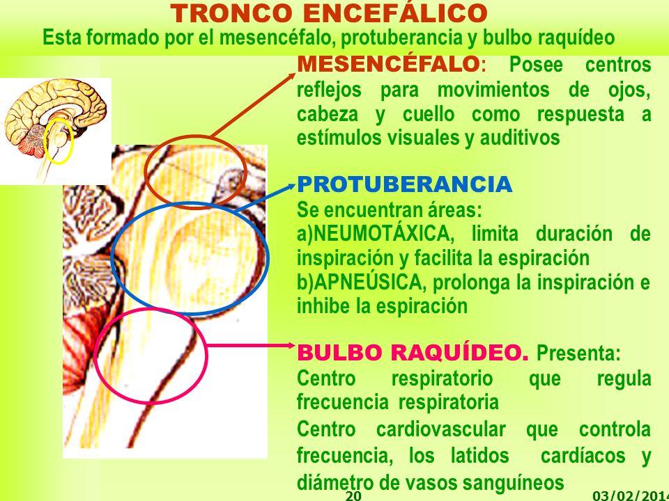 Esta formado por el mesencéfalo, protuberancia y bulbo raquídeo