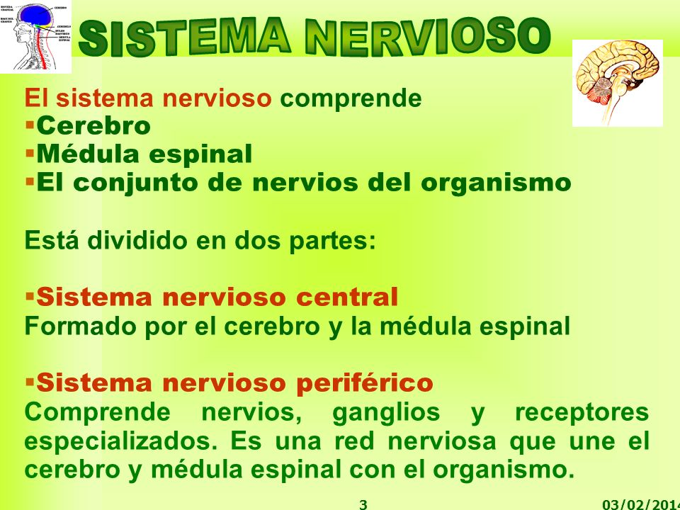 SISTEMA NERVIOSO El sistema nervioso comprende Cerebro Médula espinal
