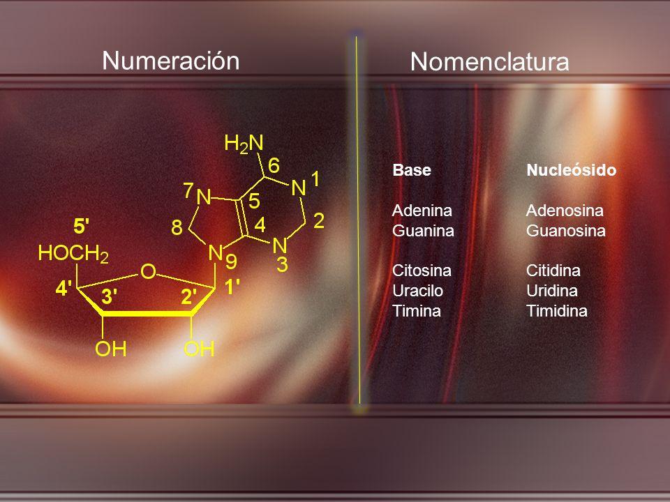 Numeración Nomenclatura Base Nucleósido Adenina Adenosina