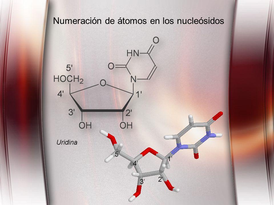Numeración de átomos en los nucleósidos