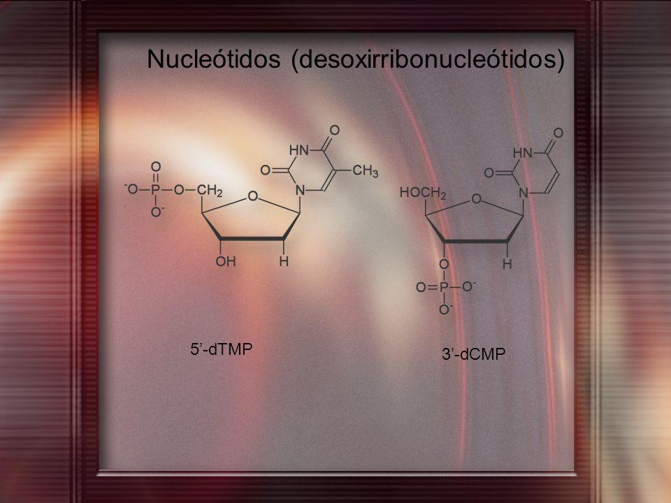 Nucleótidos (desoxirribonucleótidos)