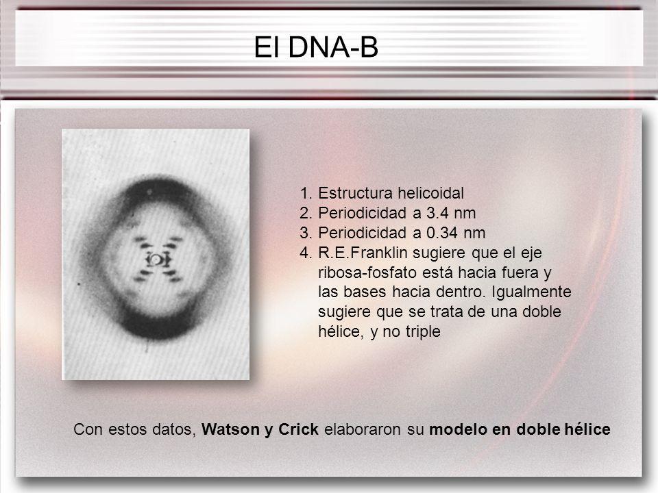 El DNA-B 1. Estructura helicoidal 2. Periodicidad a 3.4 nm