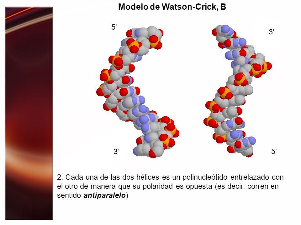 Modelo de Watson-Crick, B