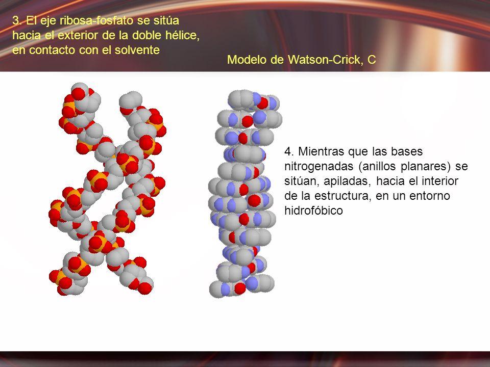 3. El eje ribosa-fosfato se sitúa