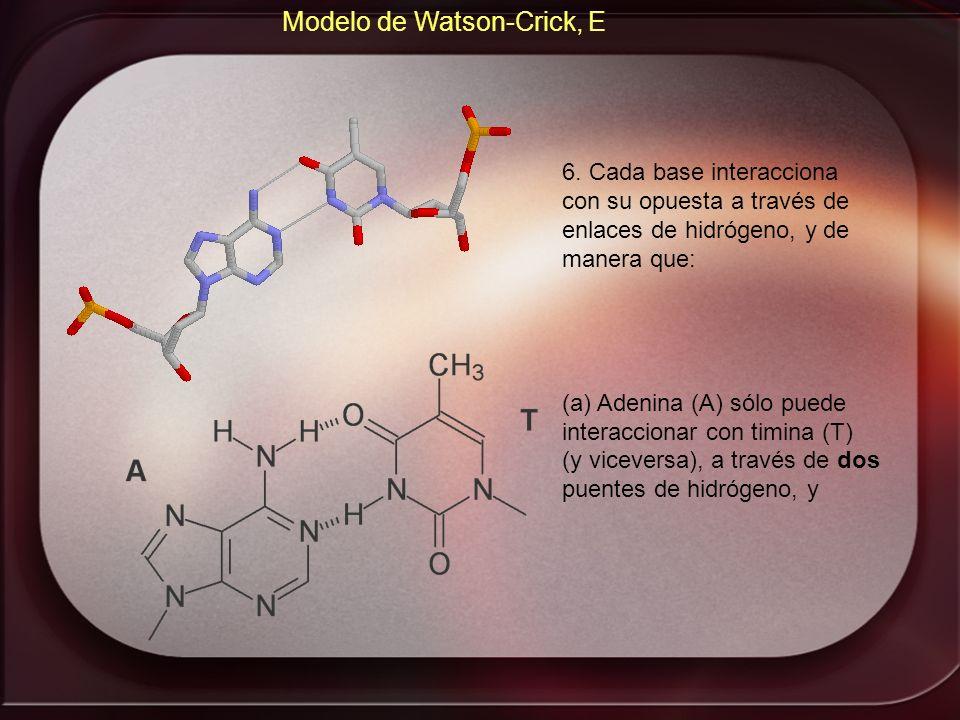 Modelo de Watson-Crick, E