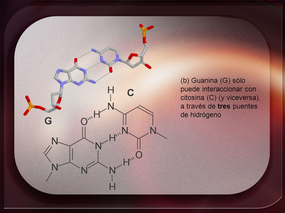 (b) Guanina (G) sólo puede interaccionar con. citosina (C) (y viceversa), a través de tres puentes.