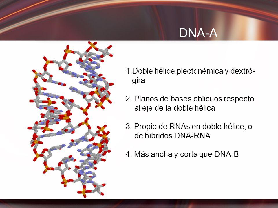DNA-A 1.Doble hélice plectonémica y dextró- gira