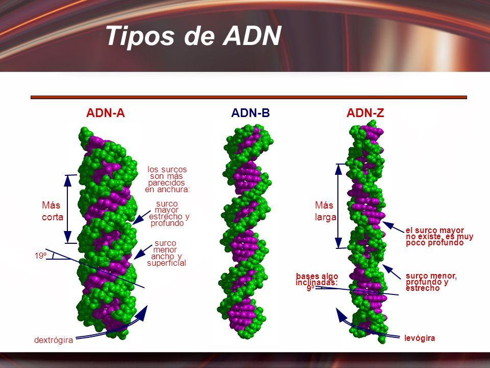 Tipos de ADN ADN-A ADN-B ADN-Z Más corta Más larga los surcos son más
