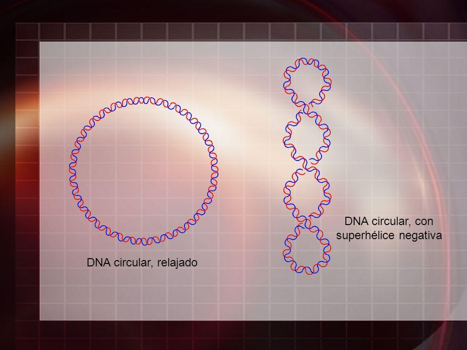 DNA circular, con superhélice negativa DNA circular, relajado
