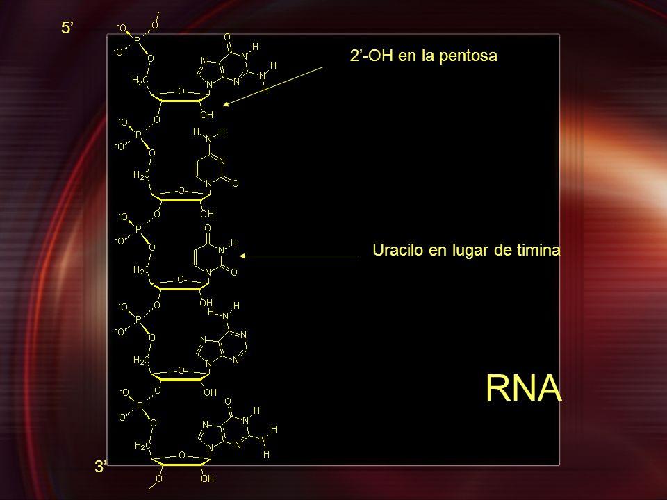 5' 2'-OH en la pentosa Uracilo en lugar de timina RNA 3'