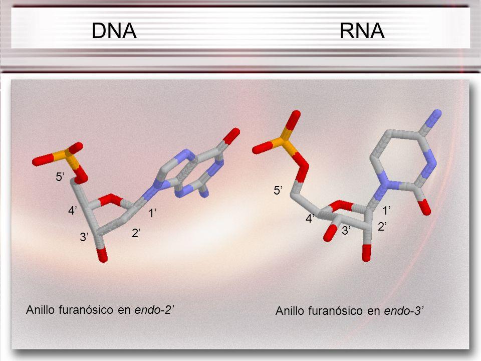 DNA RNA 5' 5' 4' 1' 1' 4' 2' 2' 3' 3' Anillo furanósico en endo-2'