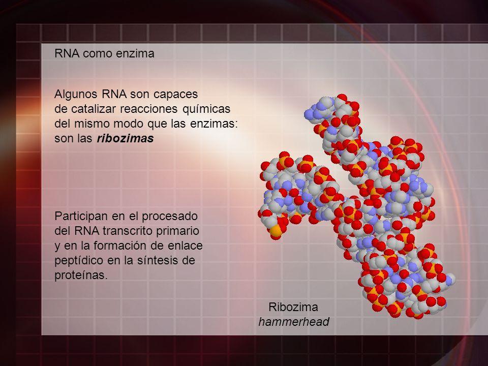 RNA como enzima Algunos RNA son capaces. de catalizar reacciones químicas. del mismo modo que las enzimas: