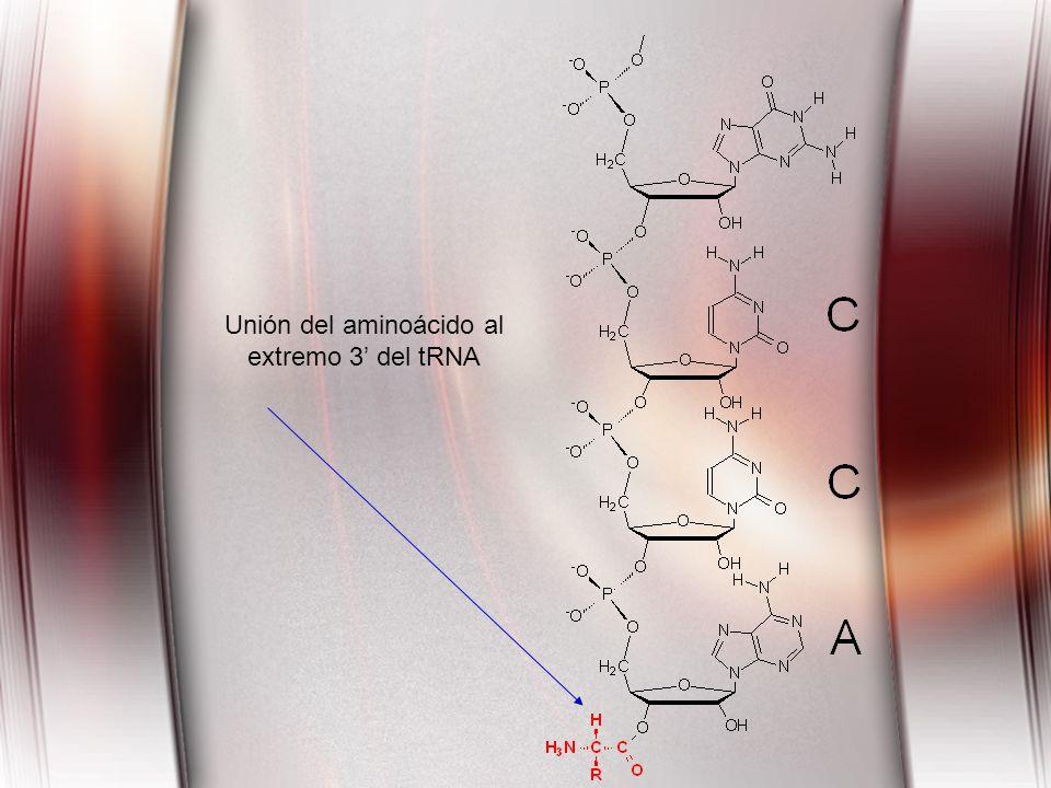 Unión del aminoácido al