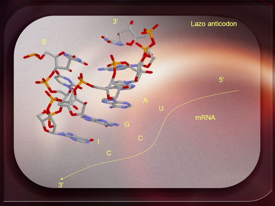 3' Lazo anticodon 5' 5' A U mRNA G C I C 3'