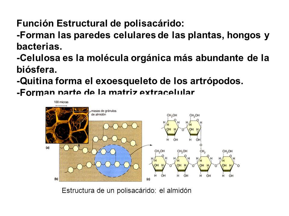 Función Estructural de polisacárido: