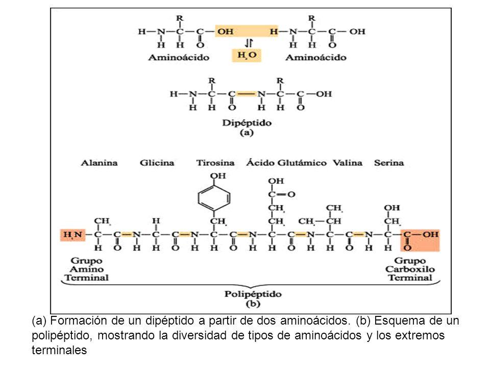 (a) Formación de un dipéptido a partir de dos aminoácidos