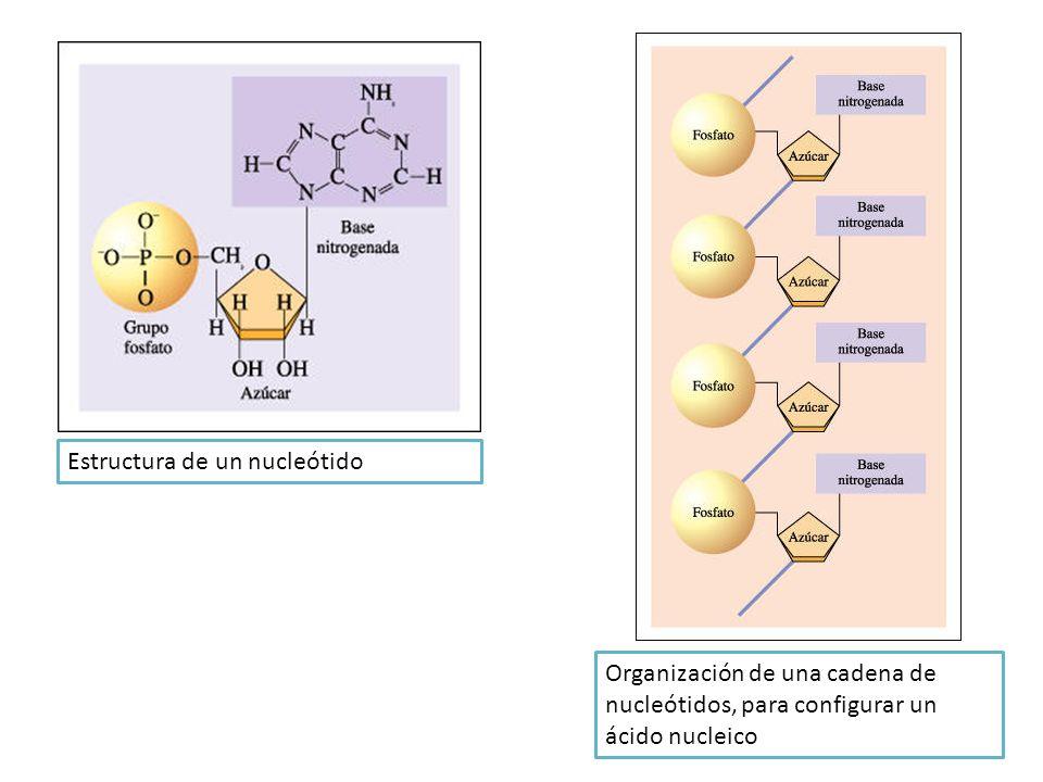 Estructura de un nucleótido