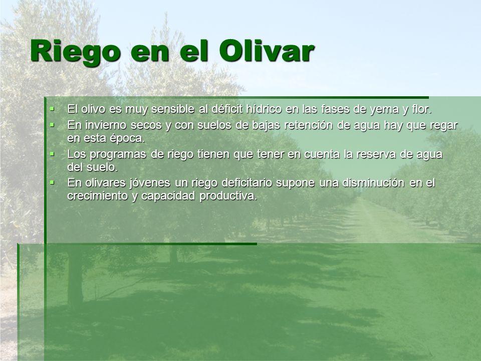 Riego en el Olivar El olivo es muy sensible al déficit hídrico en las fases de yema y flor.