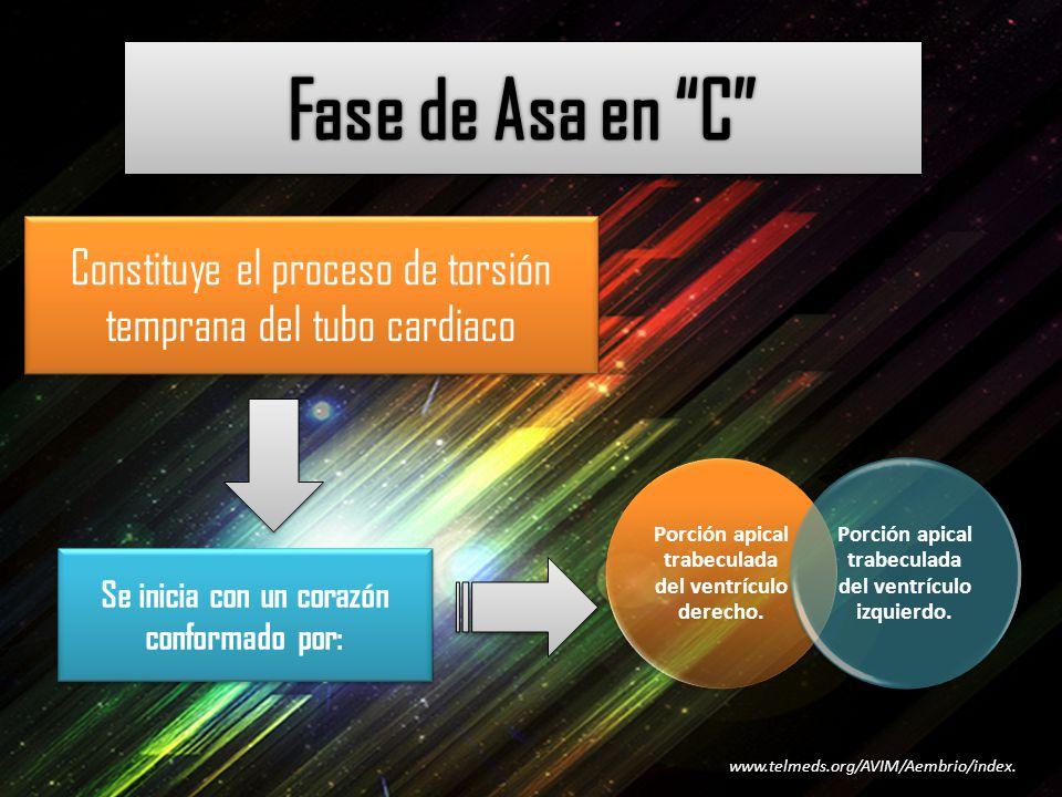 Fase de Asa en C Constituye el proceso de torsión temprana del tubo cardiaco. Porción apical trabeculada del ventrículo derecho.