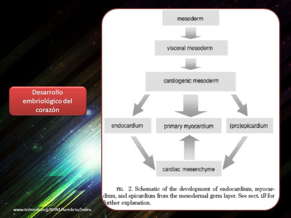 Desarrollo embriológico del corazón