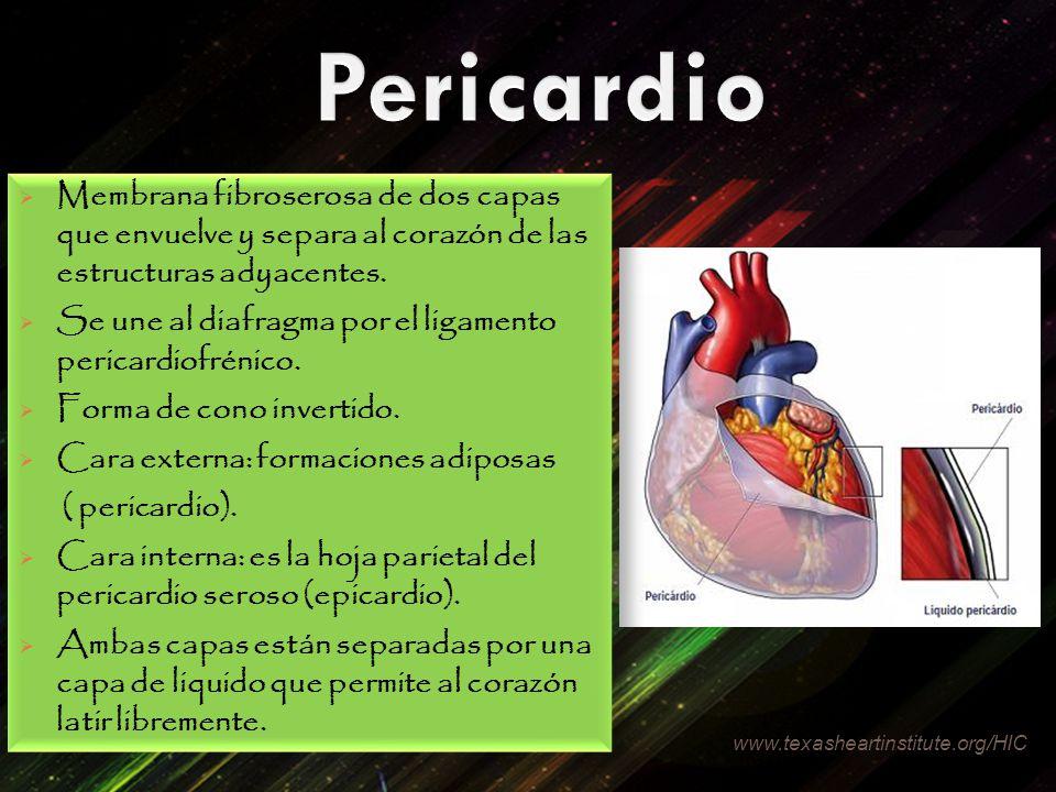Pericardio Membrana fibroserosa de dos capas que envuelve y separa al corazón de las estructuras adyacentes.