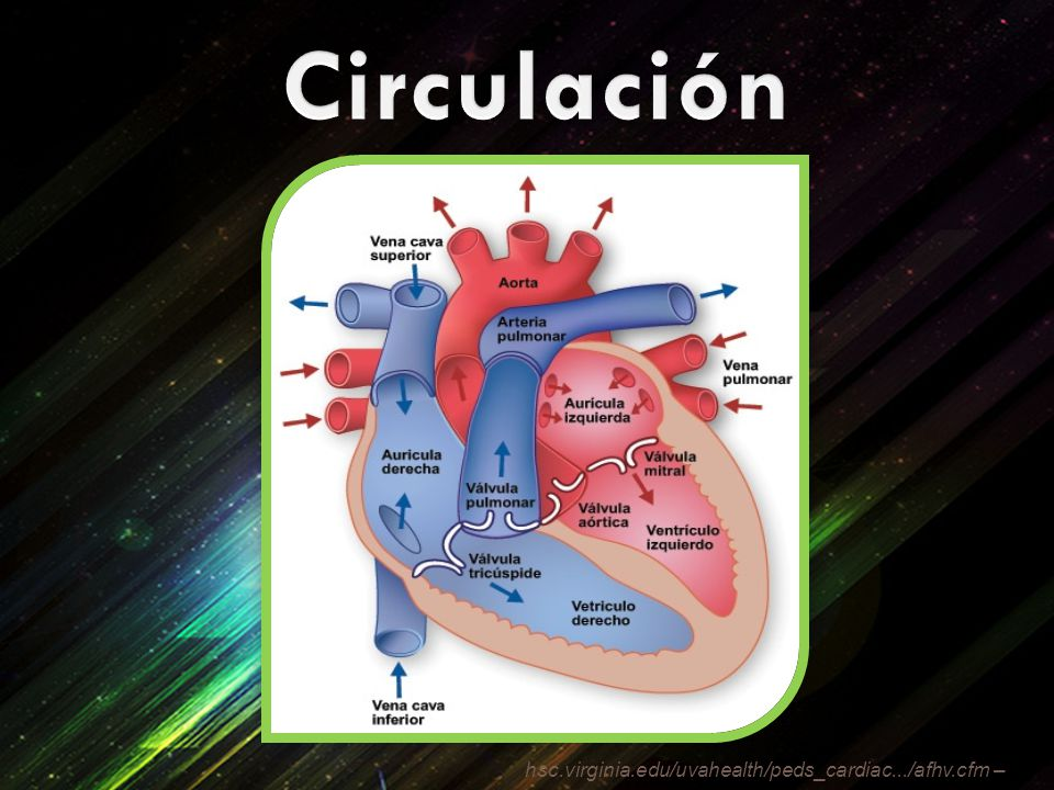 Circulación hsc.virginia.edu/uvahealth/peds_cardiac.../afhv.cfm –