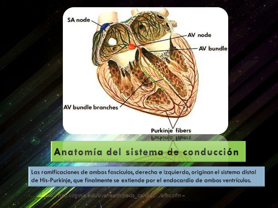 Anatomía del sistema de conducción