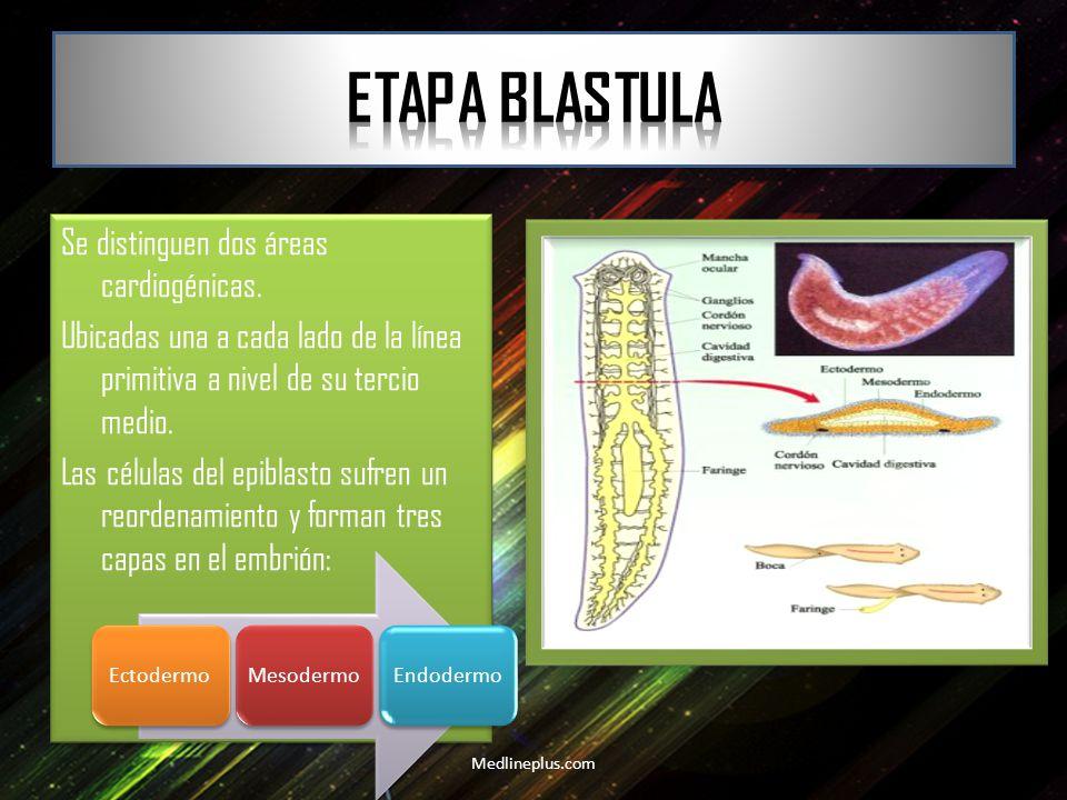 Etapa Blastula Se distinguen dos áreas cardiogénicas.