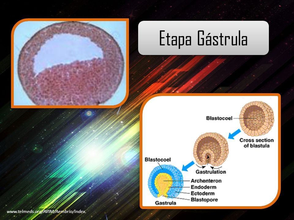 Etapa Gástrula www.telmeds.org/AVIM/Aembrio/index.