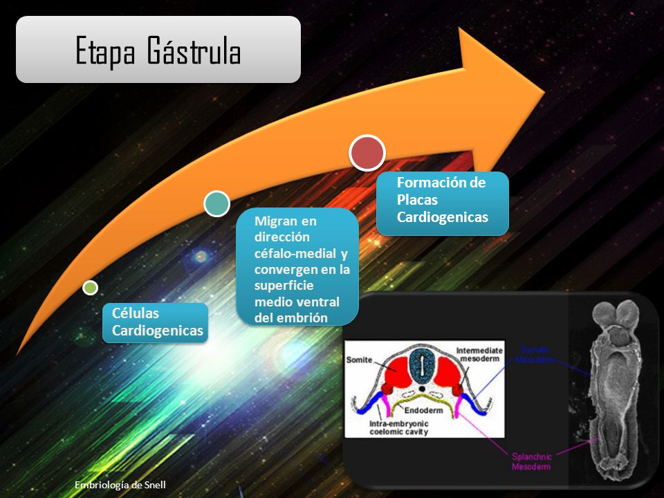 Etapa Gástrula Células Cardiogenicas. Migran en dirección céfalo-medial y convergen en la superficie medio ventral del embrión.