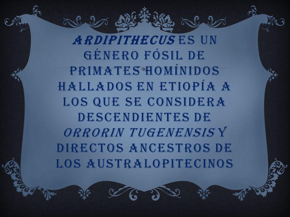 Ardipithecus es un género fósil de primates homínidos hallados en Etiopía a los que se considera descendientes de Orrorin tugenensis y directos ancestros de los australopitecinos