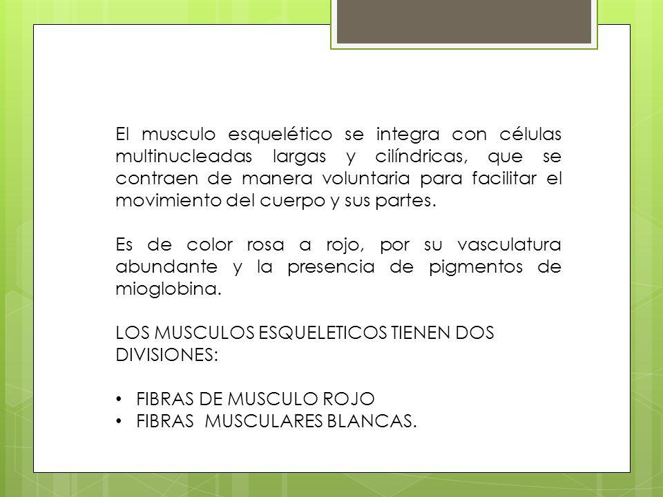 El musculo esquelético se integra con células multinucleadas largas y cilíndricas, que se contraen de manera voluntaria para facilitar el movimiento del cuerpo y sus partes.