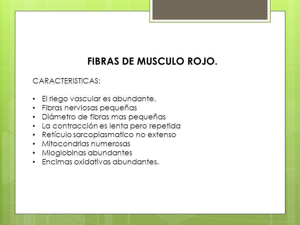 FIBRAS DE MUSCULO ROJO. CARACTERISTICAS: