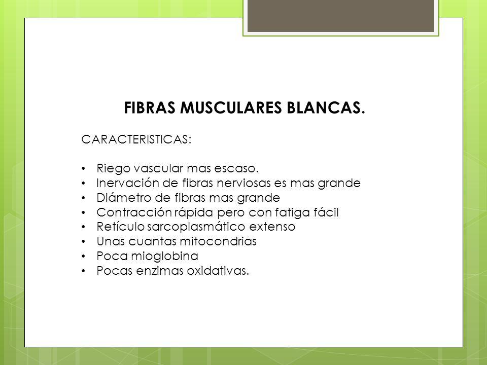 FIBRAS MUSCULARES BLANCAS.