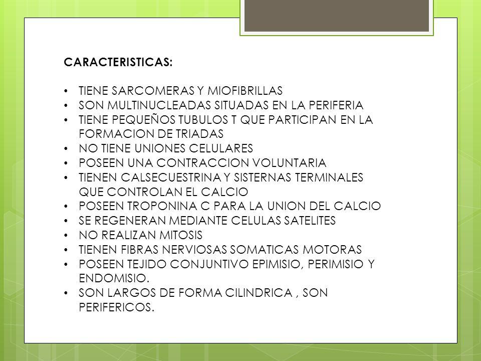 CARACTERISTICAS: TIENE SARCOMERAS Y MIOFIBRILLAS. SON MULTINUCLEADAS SITUADAS EN LA PERIFERIA.