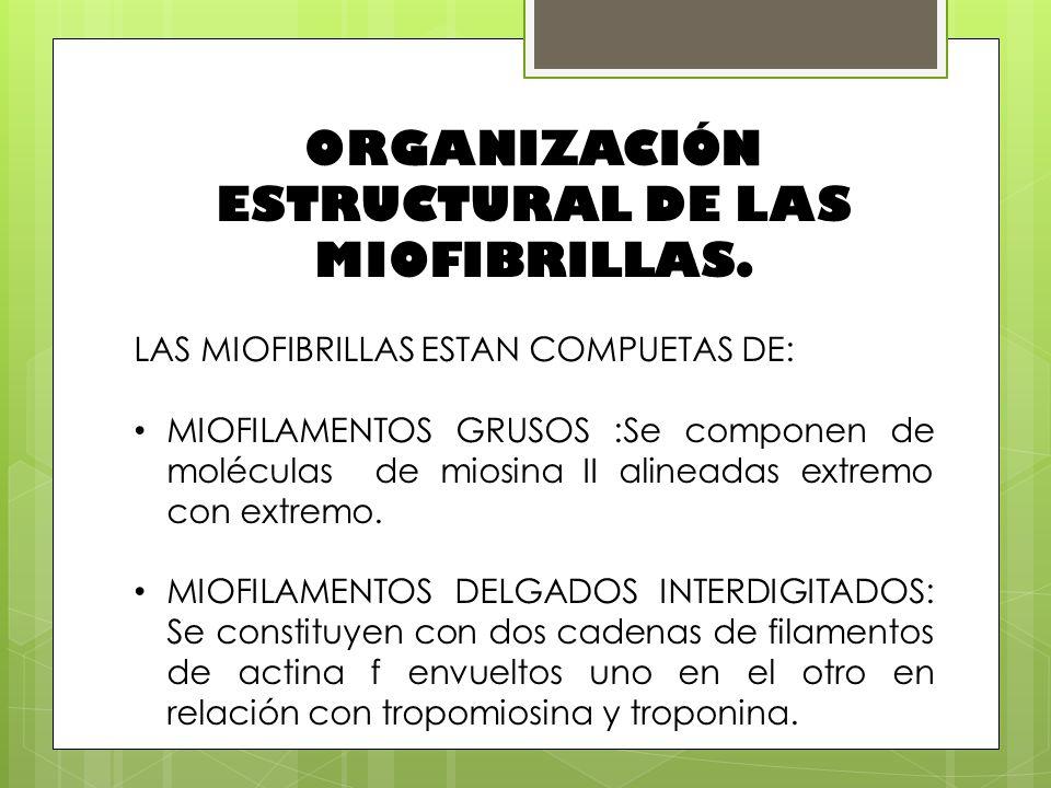 ORGANIZACIÓN ESTRUCTURAL DE LAS MIOFIBRILLAS.