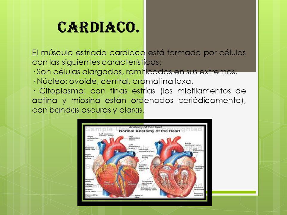 Cardiaco. El músculo estriado cardiaco está formado por células con las siguientes características: